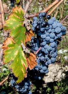 Почтовая открытка Осенний виноград