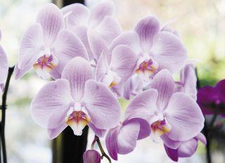 Почтовая открытка Орхидея Phalaenopsis